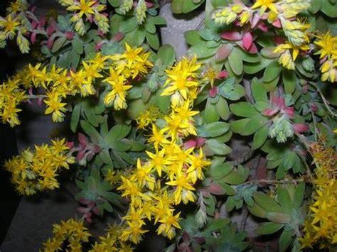 piante fiori gialli pianta grassa fiori gialli gpsreviewspot