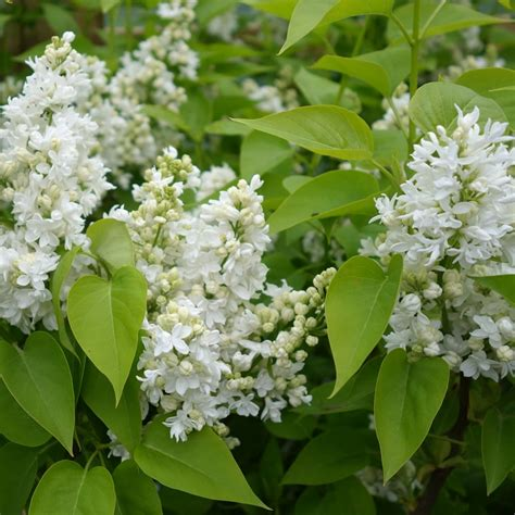 lilac tree syringa vulgaris madame lemoine buy white lilac trees