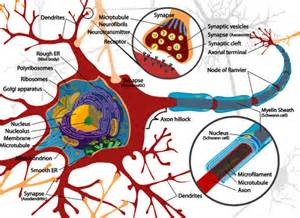 labelled diagram of nerve cell kin450 neurophysiology als wolters