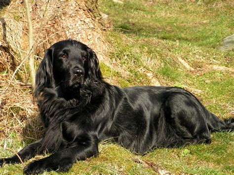 flat coated retriever flat flat coated retriever breed guide learn about the flat coated retriever