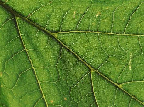 patterns in nature leaf structure and function free stock photos rgbstock free stock images leaf
