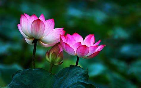Buddha With Lotus Flower Lotus Flower Buddha Wallpaper
