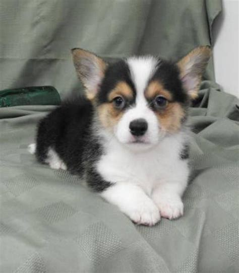 corgi chihuahua puppy 38 best corgi chihuahua mix puppies images on corgi chihuahua mix