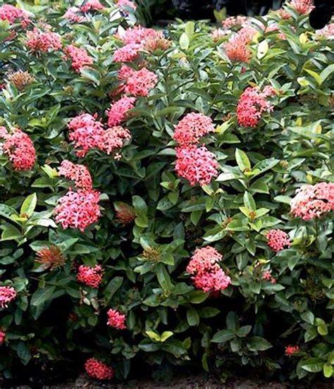 variedades belen ixora informacion sobre la planta propiedades y cultivo