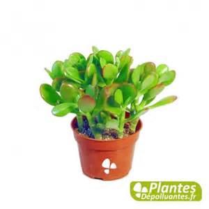 plante d int 233 rieur d 233 polluante succulent crassula