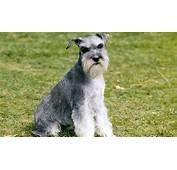 Artikel Terkait Mini Schnauzer Dog