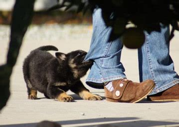 how to a german shepherd to attack how to a german shepherd puppy to attack 1001doggy