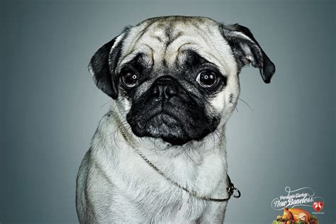 pug advert perdig 227 o boneless turkey sad pug ads of the world