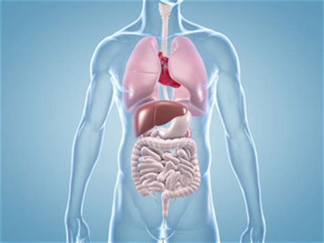 innere organe bilder bilder und suchen magen darm trakt