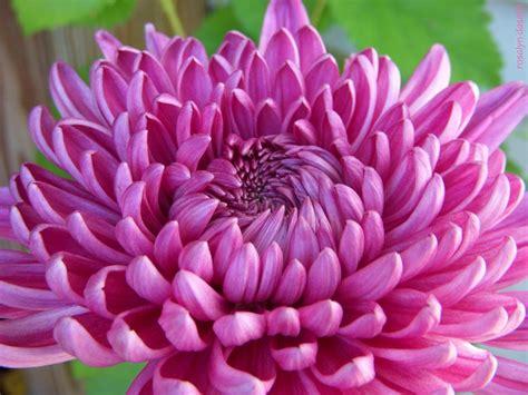 november flowers chrysanthemum