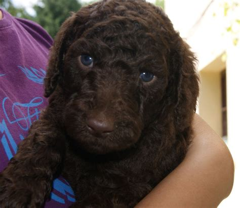 chocolate poodle puppy chocolate standard poodle puppy www imgkid the image kid has it