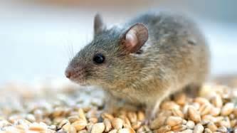 la souris domestique