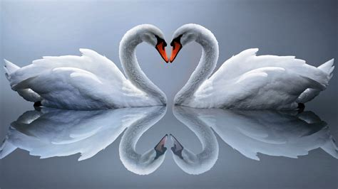 wallpaper swan  love gambar kartun lucu  wallpaper