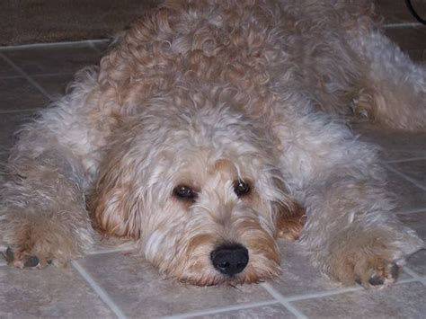 goldendoodle puppy rescue pa beautiful healthy f1b goldendoodle puppies for sale pa for