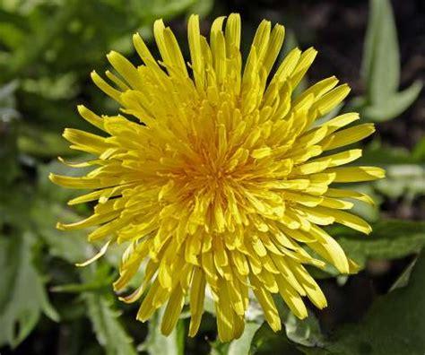 dandy flowers dandy flower
