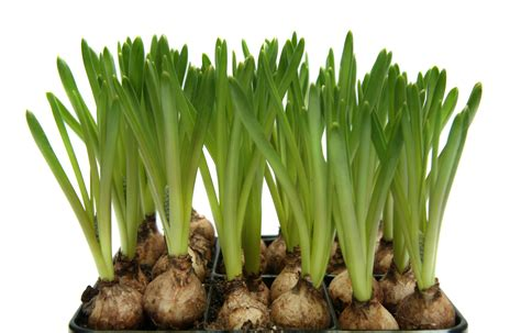 how to force bulbs indoors general home garden