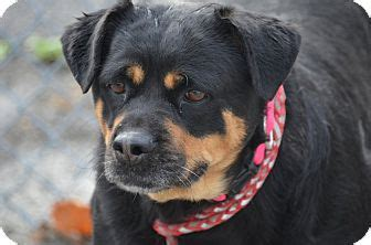 rottweiler rescue wv jazz adopted morgantown wv rottweiler mix