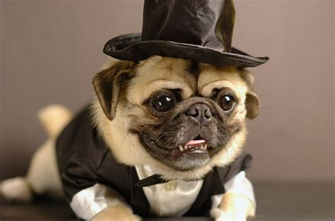 dress up pug pug perfection a gallery on flickr