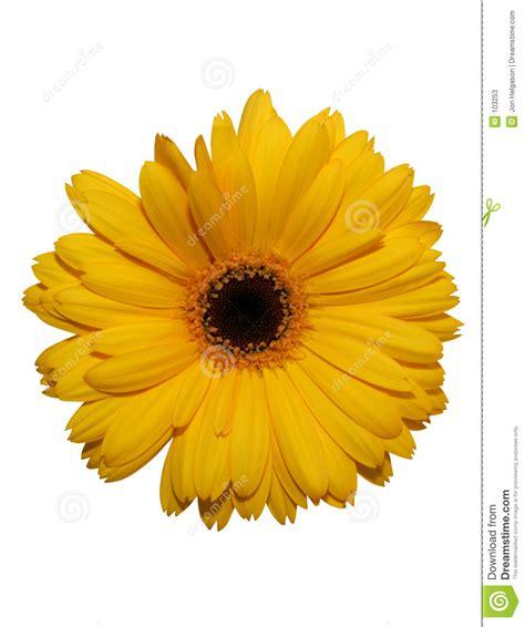 Gerbera Designs Xl Messenger by Yellow Gerbera Flower Isolated Stock Photos Image 103253