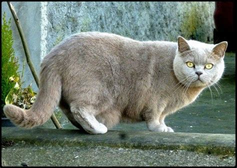 large house cat 25 best ideas about large domestic cat breeds on pinterest large cat breeds