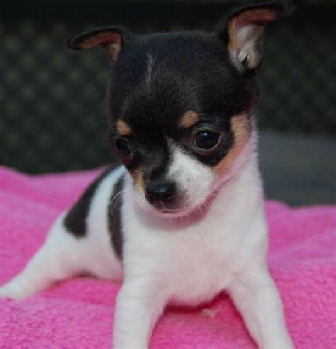 chiwawa puppies puppy dogs chihuahua puppies black and white
