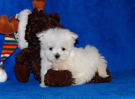 free puppies in maine dogs maine free classified ads