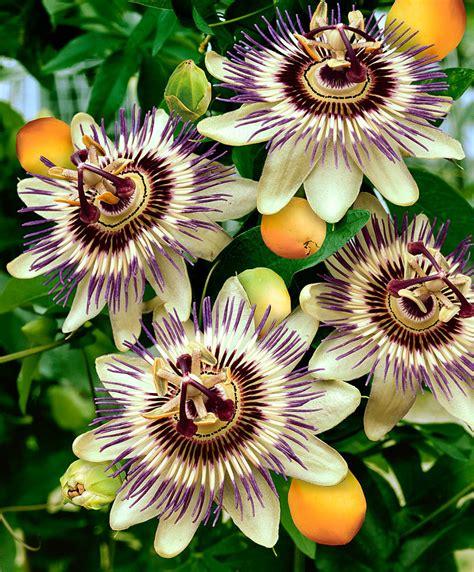 della fiore acquista passiflora bakker