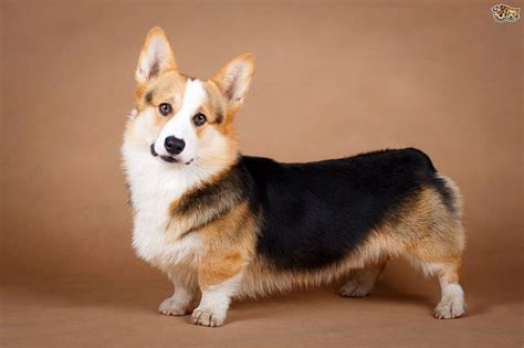 yorkie corgi corgi yorkie mix characteristics appearance and pictures