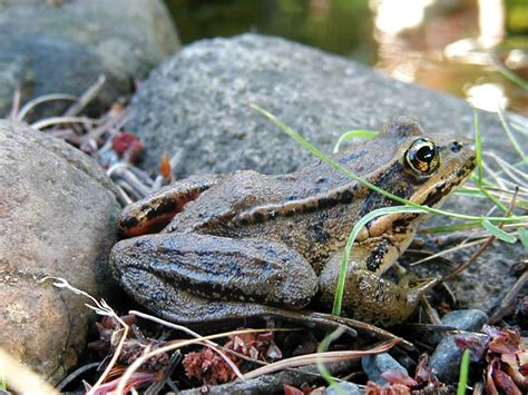 how to catch a toad in your backyard frogs living with wildlife washington department of