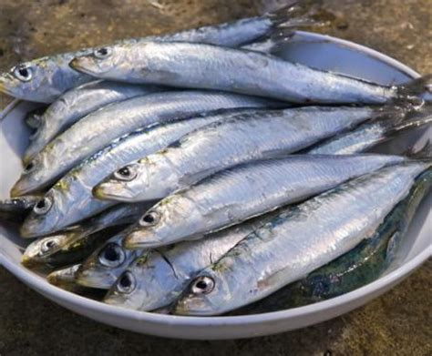 cucinare le sardine fresche ricette con le sardine la scheda e la cottura delle sardine