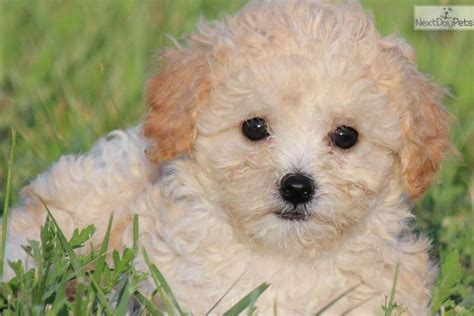 bichpoo puppies poo bichpoo puppy for sale near grand rapids michigan 4b638abd 0f51