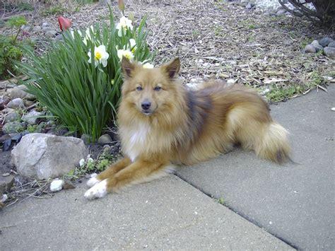 designer dogs poshies designer dogs breed standards