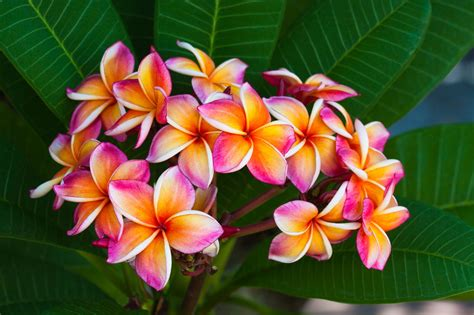 Hawaiian Flowers by An Astounding List Of Hawaiian Flowers With Names And Pictures