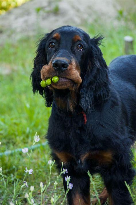 gordon setter guard dog the 25 best gordon setter ideas on pinterest irish