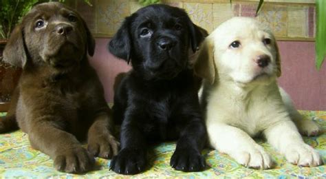 lab puppies labrador retriever breed standards