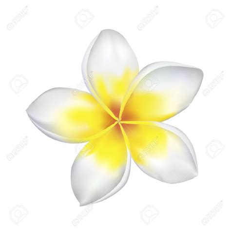 plumeria clip art black and white www imgkid com the