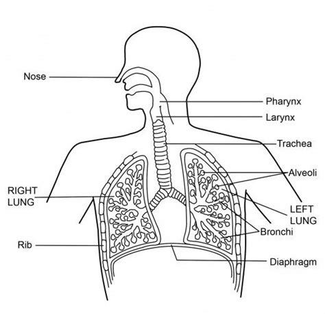 diagram of the respiratory system what is the respiratory system diagram and function