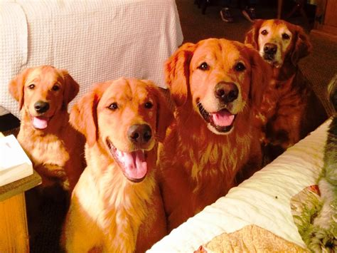 yellow lab golden retriever puppies golden lab retriever puppies sweet dreams vacation rentals