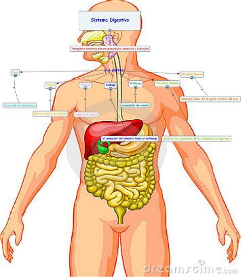 el sistema digestivo y sus organos el cuerpo humano sistema digestivo