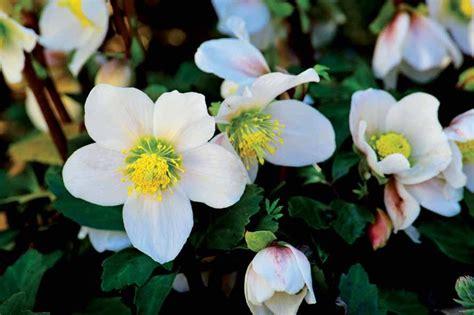rosa d inverno fiore elleboro l elegante fiore d inverno