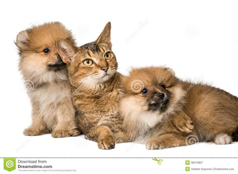 Cat And Pomeranian Puppies Royalty Free Stock Photography Image 36473807