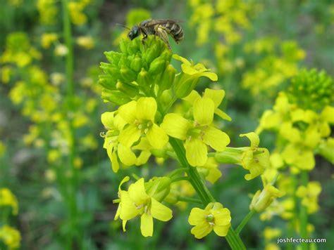 Yellow Garden Flowers Foraging Shoots Garden Yellow Rocket Josh Fecteau