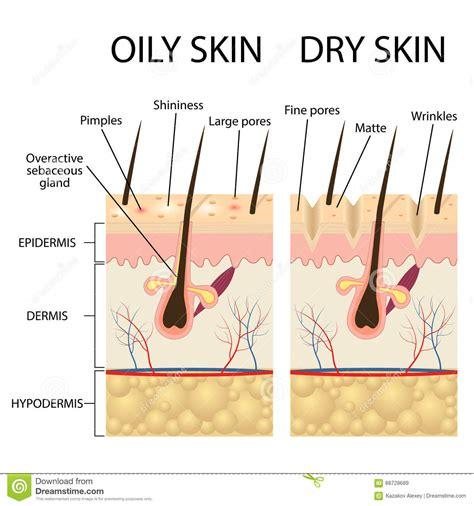 human skin layer vector cross section stock vector 520713712 istock human skin layer vector cross section vector illustration cartoondealer 34806992