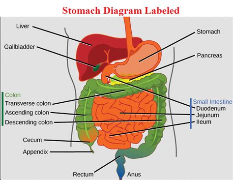 stomach diagram stomach diagram anatomy health anatomy diagrams