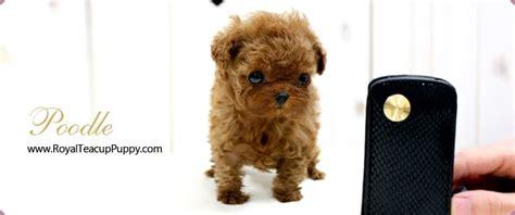 royal teacup puppies photos for royal teacup puppies yelp