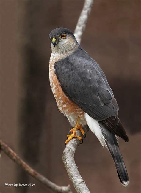 type of hawks in tn birding trails tennessee wildlife resource agency sharp shinned hawk
