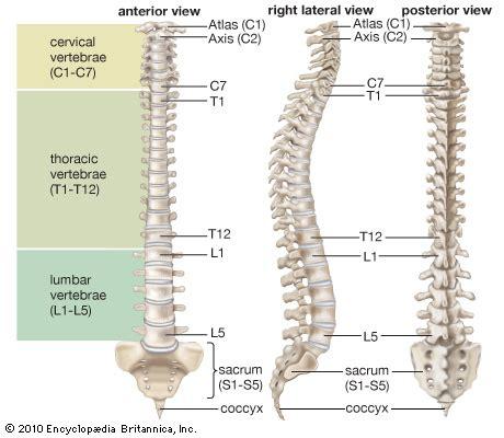 five sections of the vertebrae vertebral column anatomy britannica com