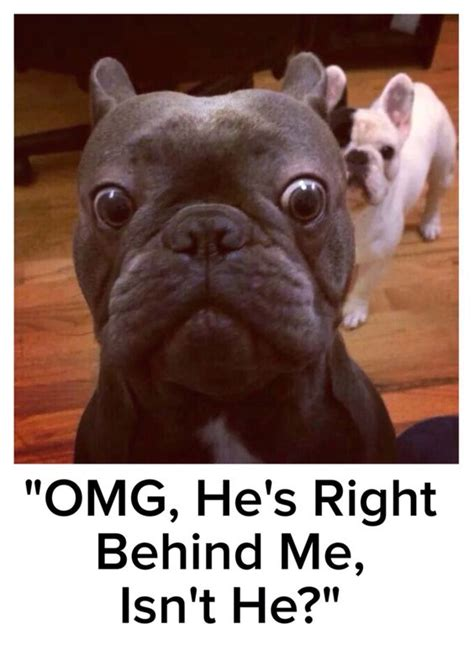 Bulldog Meme - french bulldog puppies rescue and adoption near you
