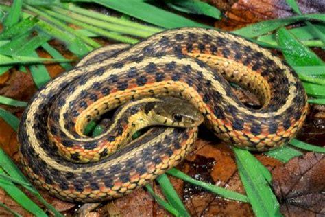 Garter Snake Venom Effects Toxic Animals Around The World