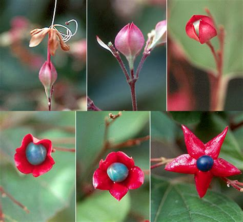what fruit am i how fruit is developed books clerodendrum trichotomum landscape plants oregon state